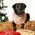 karácsony · labrador · kutya · fekete · felfelé · fehér - stock fotó © bigandt