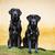 iki · genç · eski · kürk · sevimli · Labrador - stok fotoğraf © bigandt