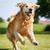 mutlu · köpek · golden · retriever · yaz · doğa - stok fotoğraf © bigandt