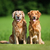 Two golden retriever dogs stock photo © bigandt