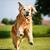 golden · retriever · köpek · açık · havada · güneşli · yaz - stok fotoğraf © bigandt