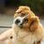 mixed bred dog stock photo © bigandt