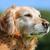 golden · retriever · hond · buitenshuis · zonnige · zomer - stockfoto © bigandt