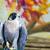 sokół · ptaków · zdobycz · charakter · portret · profil - zdjęcia stock © bigjohn36