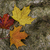 Maple leafs on a rock - background stock photo © bigjohn36