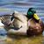 férfi · kacsa · úszik · tó · gyönyörű · felület - stock fotó © bigjohn36