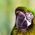 wojskowych · papuga · ptaków · kolor · zwierząt · domowych - zdjęcia stock © bigjohn36