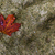Red maple leaf on a rock - background stock photo © bigjohn36