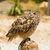 eagle owl   bubo bubo stock photo © bigknell
