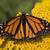 zseniális · pillangó · etetés · virágok · kert · virág - stock fotó © billperry