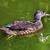 женщины · утки · отражение · плаванию · воды - Сток-фото © billperry