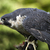 peregrine falcon duck hawk eating stock photo © billperry