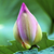 roze · vijver · zomer · blad - stockfoto © billperry