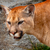 mountain lion closeup head cougar kitten puma concolor stock photo © billperry