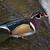 木材 · カモ · メイト · 自然 · 鳥 · スイミング - ストックフォト © billperry