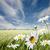 Daisy · небе · синий · завода · белый · желтый - Сток-фото © binkski