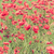 rojo · amapola · flores · campo · verano - foto stock © blasbike