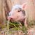 поросенок · фермы · весны · зеленая · трава · природы · фон - Сток-фото © bloodua