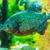 trópusi · édesvíz · akvárium · nagy · piros · hal - stock fotó © bloodua
