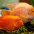 trópusi · piranha · halfajok · édesvíz · akvárium · hal - stock fotó © bloodua