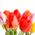 fraîches · belle · tulipes · isolé · blanche · vertical - photo stock © bloodua
