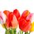 新鮮な · 美しい · チューリップ · 孤立した · 白 · 垂直 - ストックフォト © bloodua