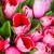 frescos · hermosa · tulipanes · aislado · blanco · vertical - foto stock © bloodua