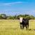 fekete · tehén · közelkép · farm · mezőgazdasági · ipar - stock fotó © bloodua