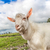 portrait of a goat eating a grass on a green meadow stock photo © bloodua