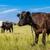 cow and calf stock photo © bloodua