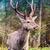 美しい · 赤 · 鹿 · 自然 · 生息地 - ストックフォト © bloodua