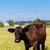 vaca · olhando · blue · sky · natureza · verão · azul - foto stock © bloodua