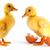 two yellow small duck stock photo © bloodua