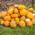abóboras · abóbora · espera · vendido · escolhido - foto stock © bloodua