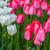 campo · vermelho · amarelo · roxo · tulipas · holandês - foto stock © bloodua