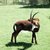 sable antelope hippotragus niger in a forest stock photo © bmonteny