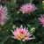 pink chrysanthemum stock photo © bobkeenan