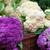 新鮮な · カリフラワー · オランダ語 · 孤立した · 白 · 葉 - ストックフォト © bobkeenan