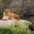 vadászat · közelkép · vad · oroszlán · állat · afrikai - stock fotó © bobkeenan
