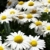 White and yellow large Daisies shallow dof stock photo © bobkeenan