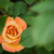 hidden orange rose stock photo © bobkeenan