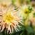 roze · dahlia · natuur · licht · tuin - stockfoto © bobkeenan