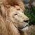 сторона · профиль · большой · мужчины · лев · высокий - Сток-фото © bokica