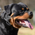 close up of rottweiler dog stock photo © bokica