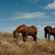 grazing horses in the steppe stock photo © borysshevchuk