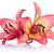 dois · lírios · belo · isolado · branco · flores - foto stock © bozena_fulawka