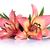 два · розовый · Лилия · изолированный · белый · цветок - Сток-фото © bozena_fulawka