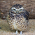 cute burrowing owl portrait 1 stock photo © bradleyvdw