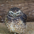cute · gufo · ritratto · cattività · occhi · uccello - foto d'archivio © bradleyvdw