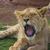 sevimli · aslan · dünya · geri · park - stok fotoğraf © bradleyvdw
